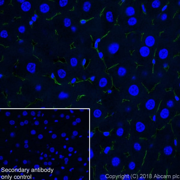 Immunohistochemistry (Frozen sections) - Anti-CD105 antibody [EPR21846] (ab221675)