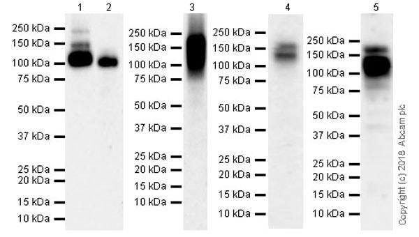 Western blot - Anti-CSF-1-R antibody [EPR21885-161] (ab221684)