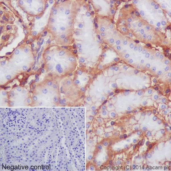 Immunohistochemistry (Formalin/PFA-fixed paraffin-embedded sections) - Anti-Integrin beta 1 antibody [EPR16895] - Low endotoxin, Azide free (ab221776)