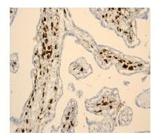 Immunohistochemistry (Formalin/PFA-fixed paraffin-embedded sections) - Anti-Hes1 antibody [EPR4226] - BSA and Azide free (ab221788)