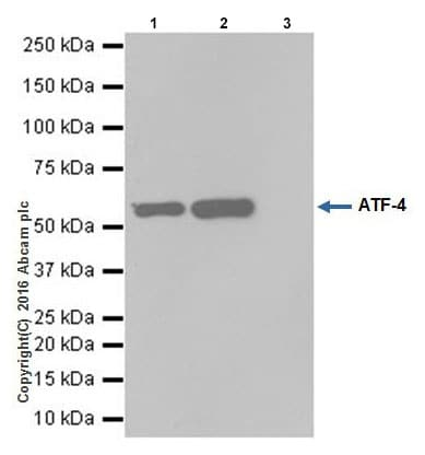 Immunoprecipitation - Anti-ATF-4 antibody [EPR18111] - BSA and Azide free (ab221791)