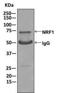 Immunoprecipitation - Anti-NRF1 antibody [EPR5554(N)] - BSA and Azide free (ab221792)