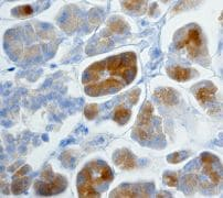Immunohistochemistry (Formalin/PFA-fixed paraffin-embedded sections) - Anti-Insulin antibody [EPR3075] - BSA and Azide free (ab221801)