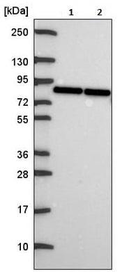 Western blot - Anti-OATP1A2 antibody (ab221804)