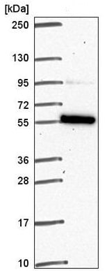 Western blot - Anti-FAM114A1 antibody (ab221806)