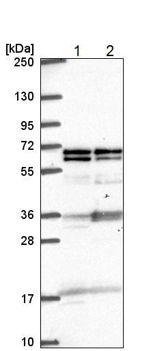 Western blot - Anti-GTF3C5 antibody (ab221809)