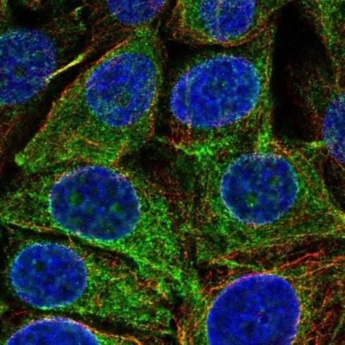 Immunocytochemistry/ Immunofluorescence - Anti-REEP5 antibody (ab221810)