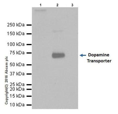 Immunoprecipitation - Anti-Dopamine Transporter antibody [EPR19695] - BSA and Azide free (ab221845)