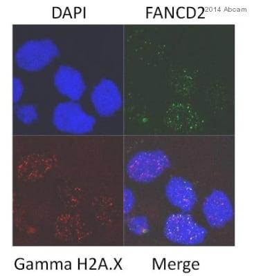 Immunocytochemistry/ Immunofluorescence - Anti-FANCD2 antibody [EPR2302] - BSA and Azide free (ab221932)
