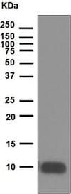 Western blot - Anti-IGF1 antibody [EPR5099] - BSA and Azide free (ab221959)