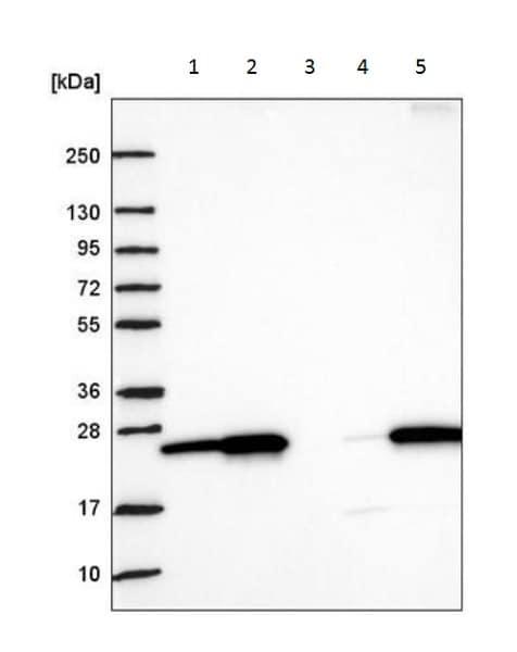 Western blot - Anti-Nurim antibody (ab222057)