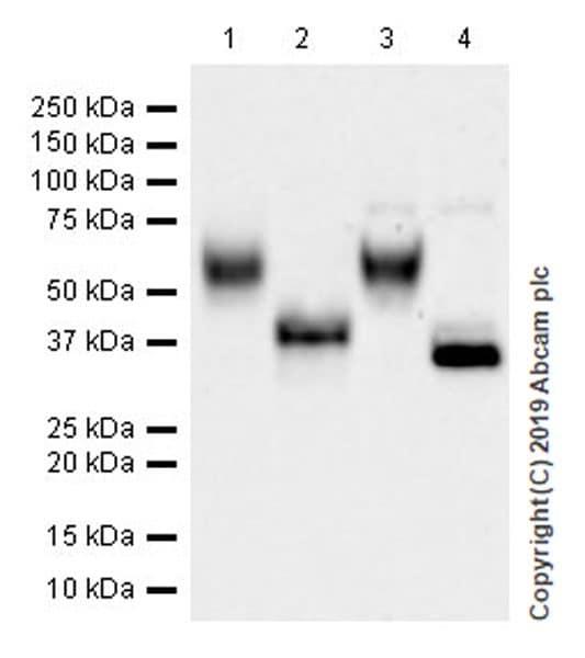 Western blot - Anti-MICA + MICB antibody [EPR22071-91] (ab222098)