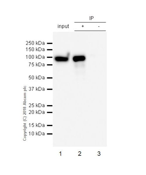 Immunoprecipitation - Anti-IL-4I1/LAO antibody [EPR22070] (ab222102)