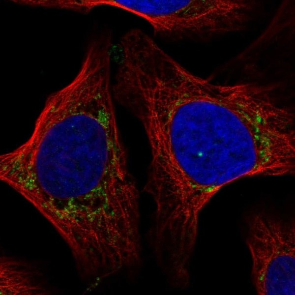 Immunocytochemistry/ Immunofluorescence - Anti-COX7A2L antibody (ab222129)