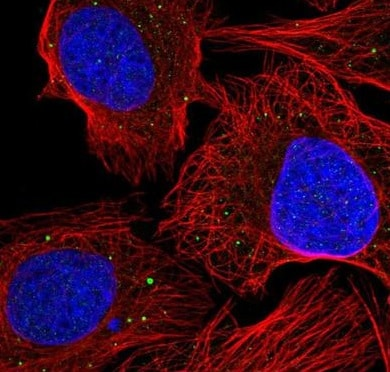 Immunocytochemistry/ Immunofluorescence - Anti-AEBP1 antibody (ab222147)