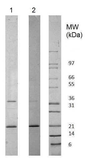 SDS-PAGE - Recombinant human Adiponectin protein (Animal Free) (ab222177)