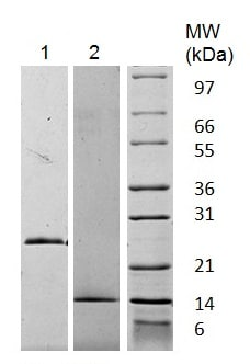 SDS-PAGE - Recombinant Human GDF15 protein (Animal Free) (ab222180)