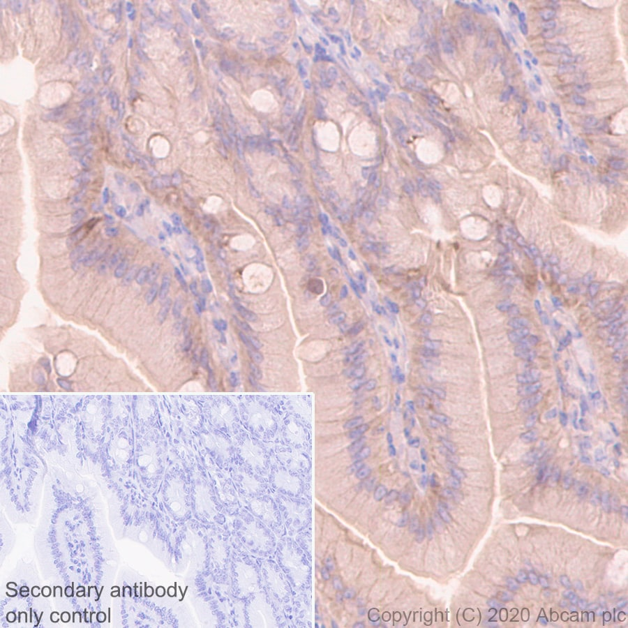 Immunohistochemistry (Formalin/PFA-fixed paraffin-embedded sections) - Anti-Src antibody [EGTR103] - BSA and Azide free (ab222221)
