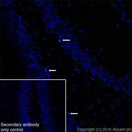 Immunohistochemistry (Frozen sections) - Anti-TBR2 / Eomes antibody [EPR19012] - BSA and Azide free (ab222226)