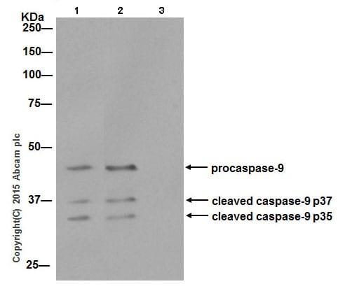 Immunoprecipitation - Anti-Caspase-9 antibody [EPR18107] - BSA and Azide free (ab222231)