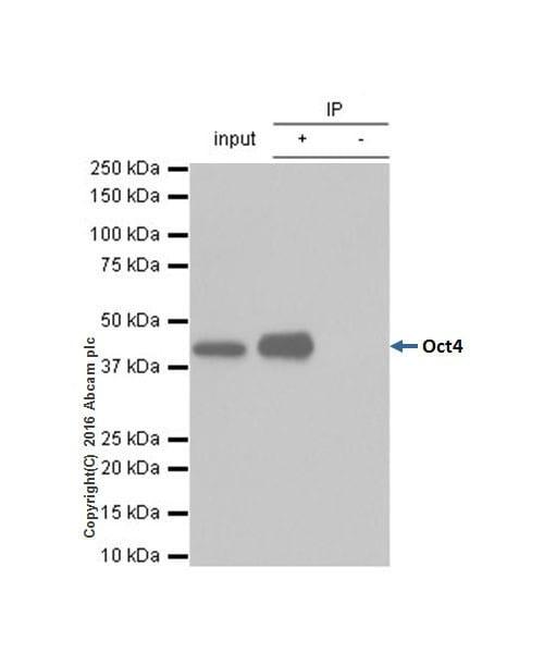 Immunoprecipitation - Anti-Oct4 antibody [EPR2054] - BSA and Azide free (ab222233)