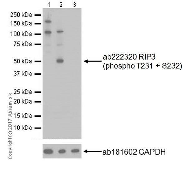 Western blot - Anti-RIP3 (phospho T231 + S232) antibody [EPR19403-52] (ab222320)