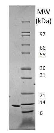 SDS-PAGE - Recombinant human Leptin protein (Animal Free) (ab222359)