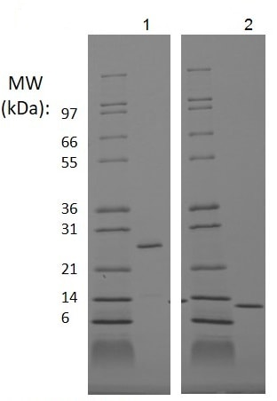 SDS-PAGE - Recombinant human ProBMP2 protein (Animal Free) (ab222360)