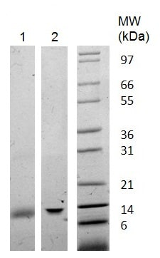 SDS-PAGE - Recombinant Human Galectin 1 protein (ab222363)