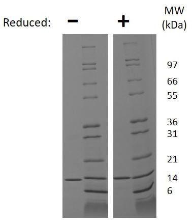 SDS-PAGE - Recombinant mouse Leptin Precursor protein (ab222365)