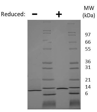 SDS-PAGE - Recombinant mouse NGF protein (Animal Free) (ab222367)