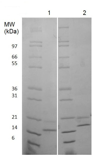 SDS-PAGE - Recombinant human FGF4 protein (Animal Free) (ab222368)