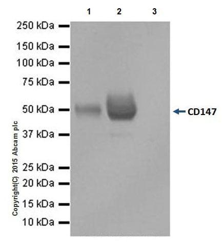 Immunoprecipitation - Anti-CD147 antibody [EPR18008-8] - BSA and Azide free (ab222389)