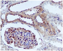 Immunohistochemistry (Formalin/PFA-fixed paraffin-embedded sections) - Anti-IQGAP1 antibody [EPR5220] - Low endotoxin, Azide free (ab222390)