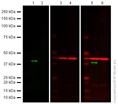 Western blot - Anti-Cdk6 antibody [EPR4515] - BSA and Azide free (ab222395)