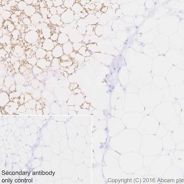 Immunohistochemistry (Formalin/PFA-fixed paraffin-embedded sections) - Anti-UCP1 antibody [EPR20381] - BSA and Azide free (ab222397)