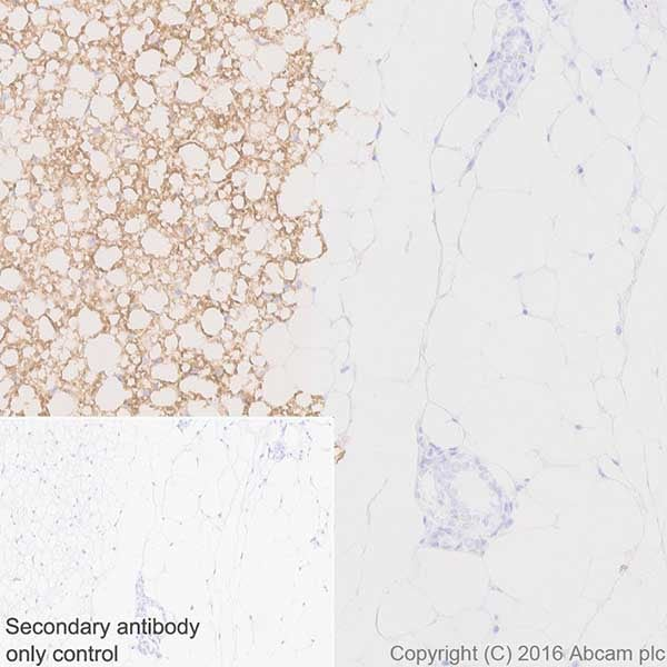 Immunohistochemistry (Formalin/PFA-fixed paraffin-embedded sections) - Anti-UCP1 antibody [EPR20381] - BSA and Azide free (ab222397)
