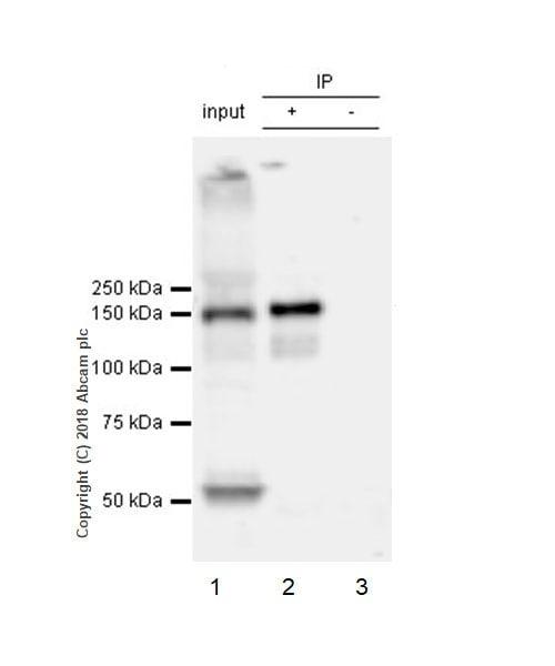 Immunoprecipitation - Anti-Bcr antibody [EPR22062] (ab222406)