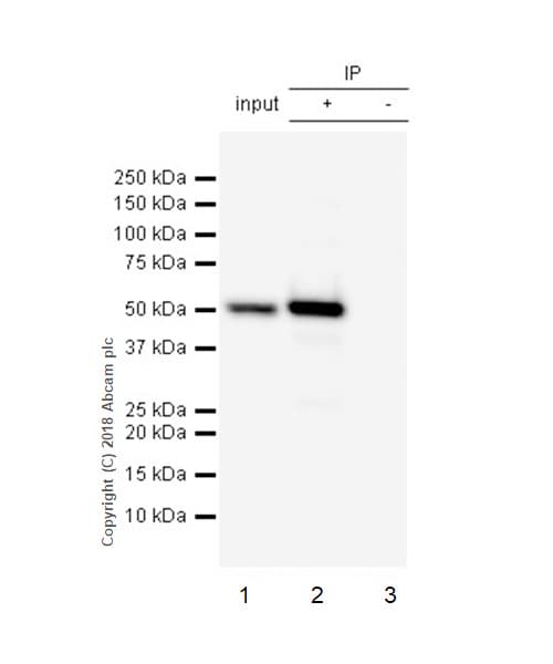 Immunoprecipitation - Anti-IRG1 antibody [EPR22066] (ab222411)