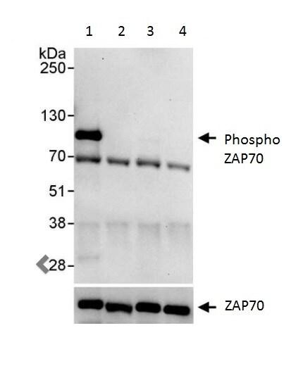 Immunoprecipitation - Anti-ZAP70 (phospho Y493) antibody (ab222459)
