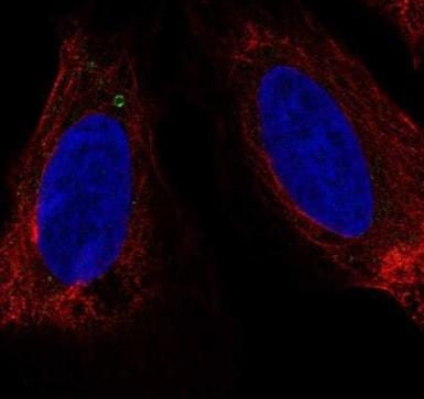 Immunocytochemistry/ Immunofluorescence - Anti-LUZP6 antibody (ab222469)