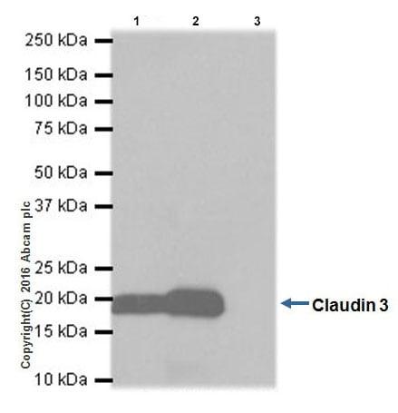 Immunoprecipitation - Anti-Claudin 3 antibody [EPR19971] - BSA and Azide free (ab222485)