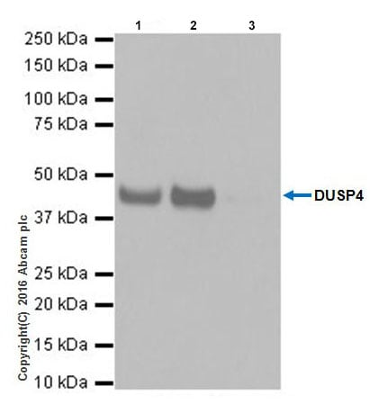 Immunoprecipitation - Anti-DUSP4 antibody [EPR19881] - BSA and Azide free (ab222487)