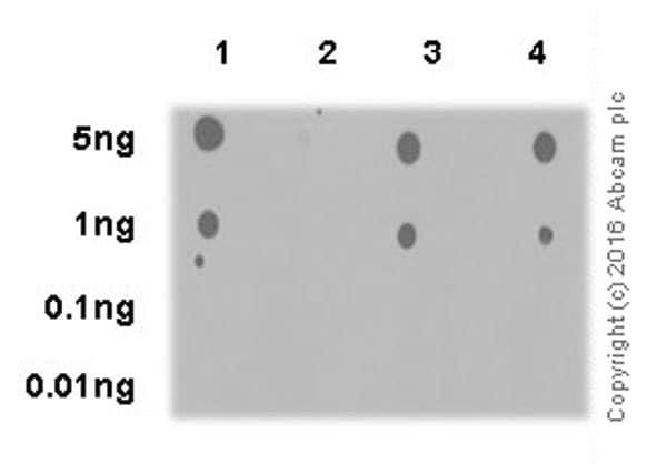 Dot Blot - Anti-AKT1 + AKT2 + AKT3 (phospho S472 + S473 + S474) antibody [EPR18853] - BSA and Azide free (ab222489)