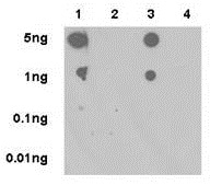 Dot Blot - Anti-ERK1 (phospho T202) + ERK2 (phospho T185) antibody [EPR18444] - BSA and Azide free (ab222493)