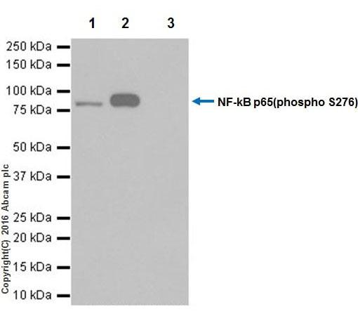 Immunoprecipitation - Anti-NF-kB p65 (phospho S276) antibody [EPR17622] - BSA and Azide free (ab222494)