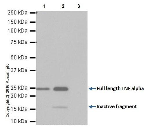 Immunoprecipitation - Anti-TNF alpha antibody [EPR19147] - Low endotoxin, Azide free (ab222500)