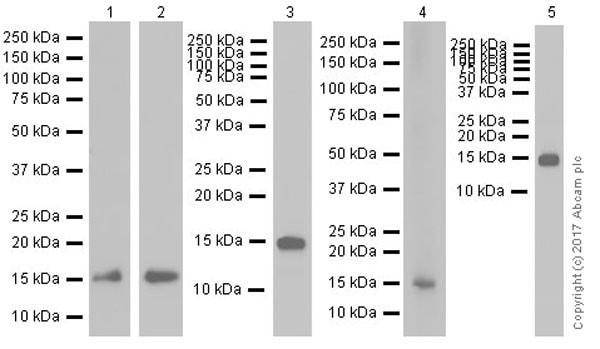 Western blot - Anti-CDA antibody [EPR20525] (ab222515)