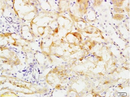 Immunohistochemistry (Formalin/PFA-fixed paraffin-embedded sections) - Anti-Occludin antibody (ab222691)