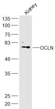 Western blot - Anti-Occludin antibody (ab222691)